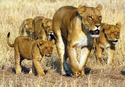 lionne and lionceaux.jpg